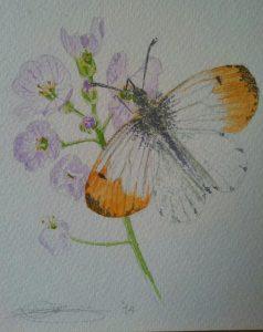 Close Up Of Fine Art Watercolour of An Orange Tip Butterfly By Darren Graham of Ephraim Art Studio